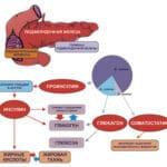 Функції підшлункової залози в організмі людини