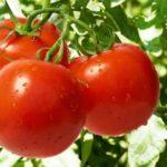 Огірки і помідори при панкреатиті: можна чи ні